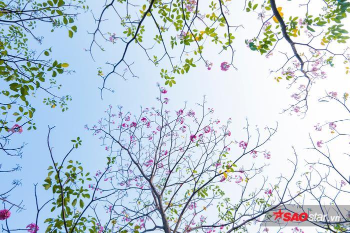 Mùa kèn hồng tháng tư là mùa hoa duy nhất và đẹp nhất Sài Gòn – tôi nghĩ vậy!