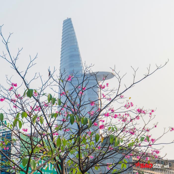 Từng chùm hồng phấn nở rợp cả một bầu trời trên những tuyến đường Võ Văn Kiệt, Điện Biên Phủ, Nam Kỳ Khởi Nghĩa,…