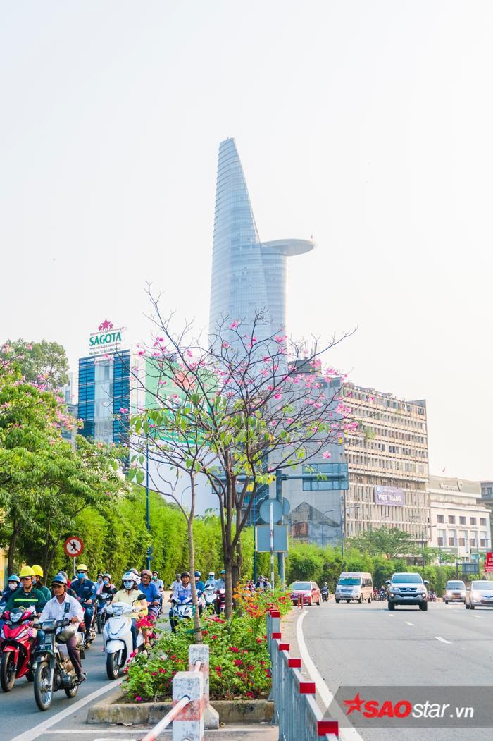 Ban đầu hoa được trồng ứng dụng vào năm 2009, sau nhờ vẻ đẹp của mình, thành phố mới tiếp tục nhân giống trên toàn thành phố.