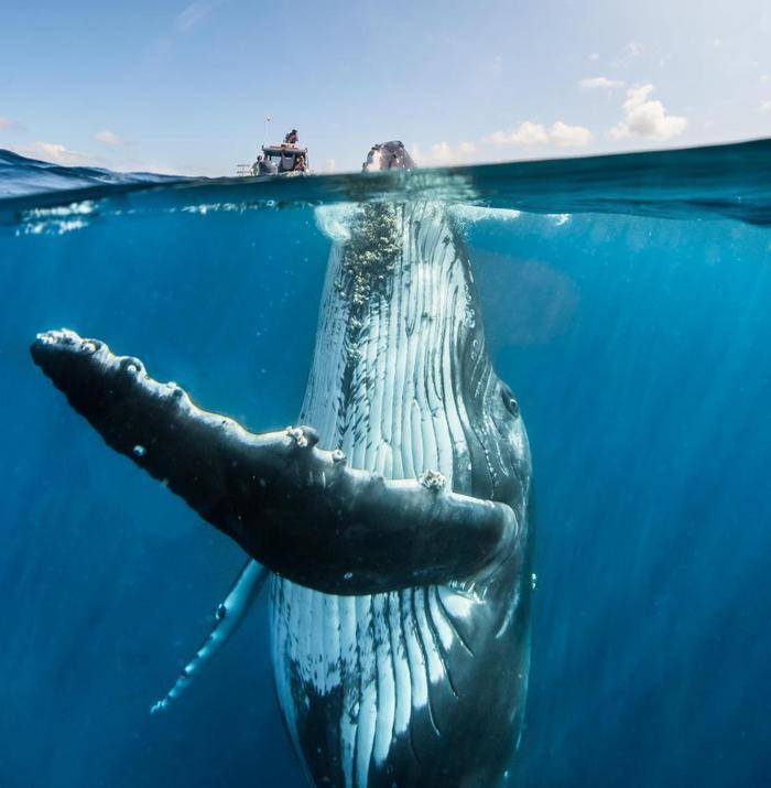 Cá voi lưng gù nặng khoảng 40 tấn. Ảnh: The Sun