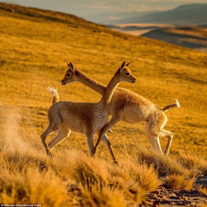 Vẻ mặt khá bình thản của hai con vật dù chúng đang trong một cuộc tranh chấp khốc liệt. Ảnh: Mercury Press