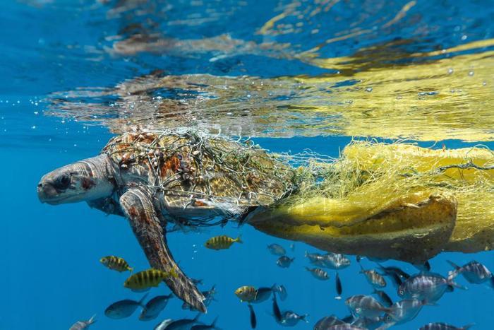Chú rùa nhỏ bị mắc kẹt trong một túi lưới ở Trincomalee, Sri Lanka.