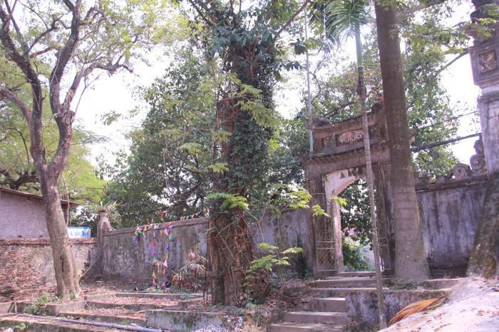 Tại chùa thôn Phụ Chính (Hòa Chính, Chương Mỹ, Hà Nội) có hai cây sưa, trong đó cây đang bị mối mọt tấn công là cây sưa có giá trị hơn so với cây sưa trắng.