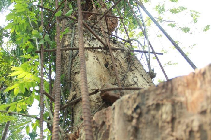 Thân cây sưa đang bị mối mọt tấn công mạnh.