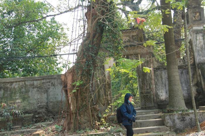 Năm 2013, lợi dụng lúc trời mưa bão, kẻ xấu đã cắt cửa khóa cổng, vào chùa chặt một nhánh sưa lớn. Vì vậy, địa phương đã dùng lưới sắt bảo vệ cây sưa cổ.