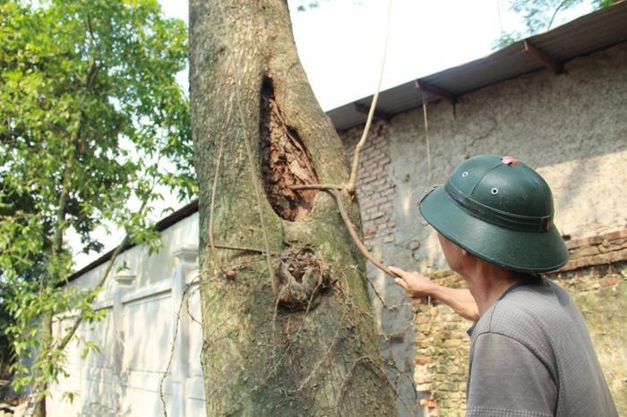 Hiện tại cây sưa đang được người dân trong làng thay nhau canh gác cả ngày lẫn đêm.