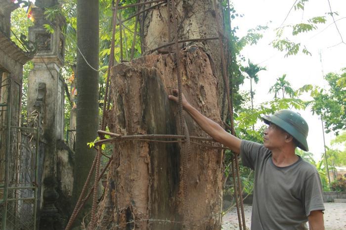 Những lỗ rỗng trong thân cây, có đoạn hơn một mét. Nếu gặp trời mưa, sẽ bị ngấm nước, nấm mốc.