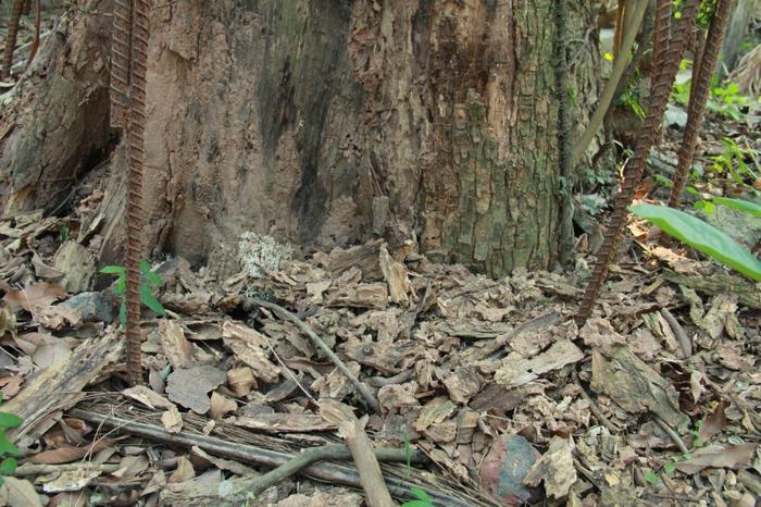 Tuy nhiên mối mọt theo thời gian khiến một số phần thân cây mục ruỗng rơi xuống đất người dân vô cùng xót xa.