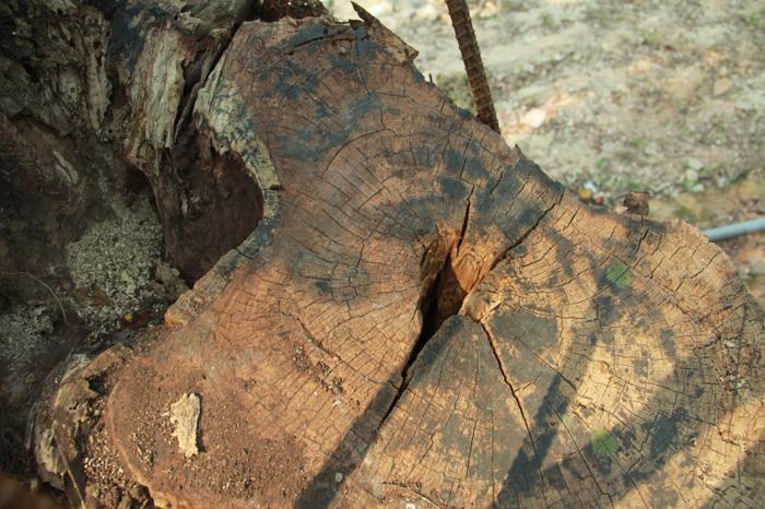 Cây sưa quý này có 2 nhánh lớn, tuy nhiên, 1 nhánh đã bị gãy đổ và được bán theo hình thức đấu giá cho một đại gia gỗ Đồng Kỵ (Từ Sơn, Bắc Ninh) với giá 20,5 tỷ đồng vào năm 2010.Vụ mua bán đã gây nên những lùm xùm trong một thời gian dài. Được biết, khi xe chở số gỗ sưa trên vừa ra khỏi địa phận xã Hòa Chính, sang xã Đồng Phú thì bị Công an huyện Chương Mỹ kiểm tra, tạm giữ. Đến năm 2015, số gỗ sưa bị tạm giữ được bán đấu giá thu về số tiền hơn 31 tỷ đồng.