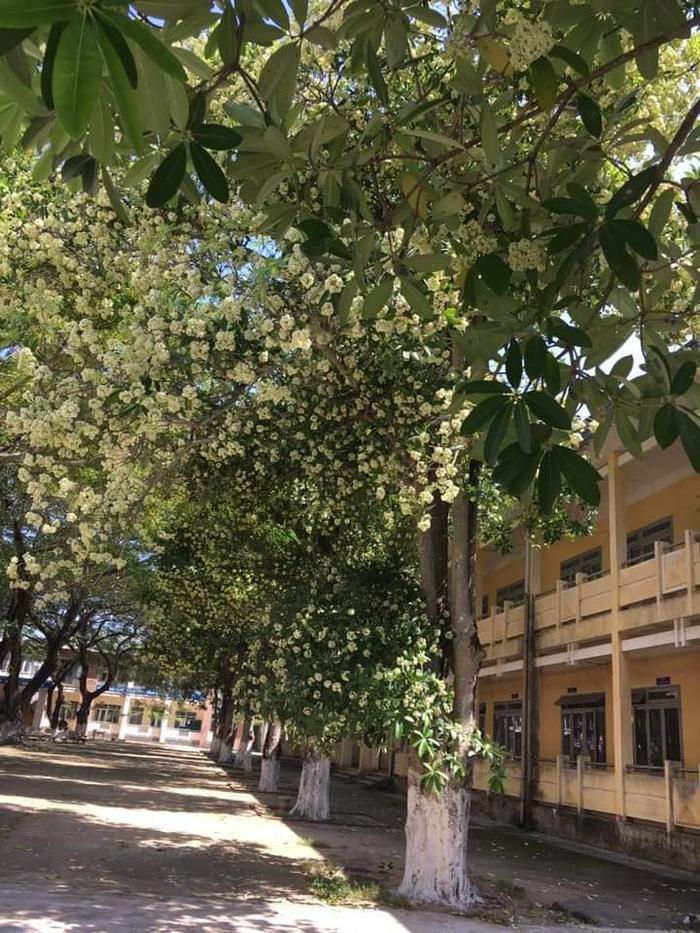 Nhìn thì thơ mộng thật đấy nhưng với học sinh sẽ thật ám ảnh. Một khoảnh sân trường trồng tới cả chục cây hoa sữa thế này làm sao chịu nổi?