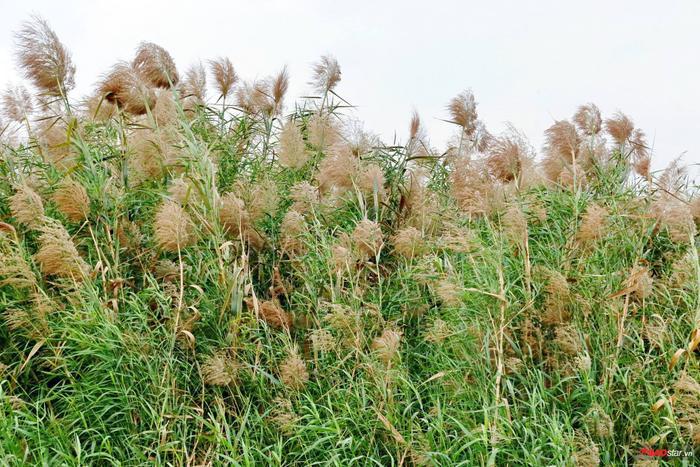 Bãi cỏ lau này trải dài, bao phủ hầu như khắp khu vực bãi giữa sông Hồng.