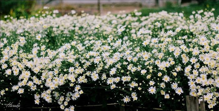 Đặc biệt cứ đến mùa cúc họa mi, du khách lại có cơ hội chiêm ngưỡng những cánh đồng hoa cúc trắng muốt.