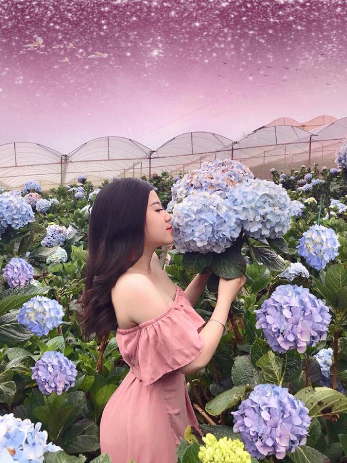 Vườn hoa cẩm tú cầu (Trại Mát)