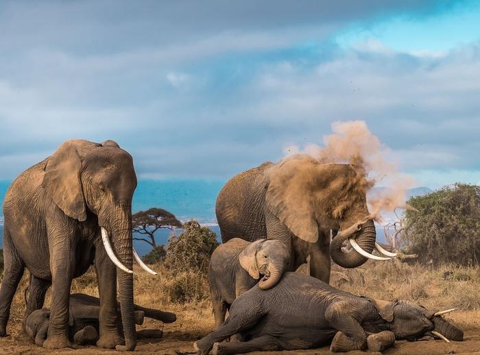 Một con voi thở ra bụi.