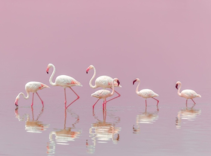 Đàn chim hồng hạc giữa hồ nước tạo nên khung cảnh thơ mộng.
