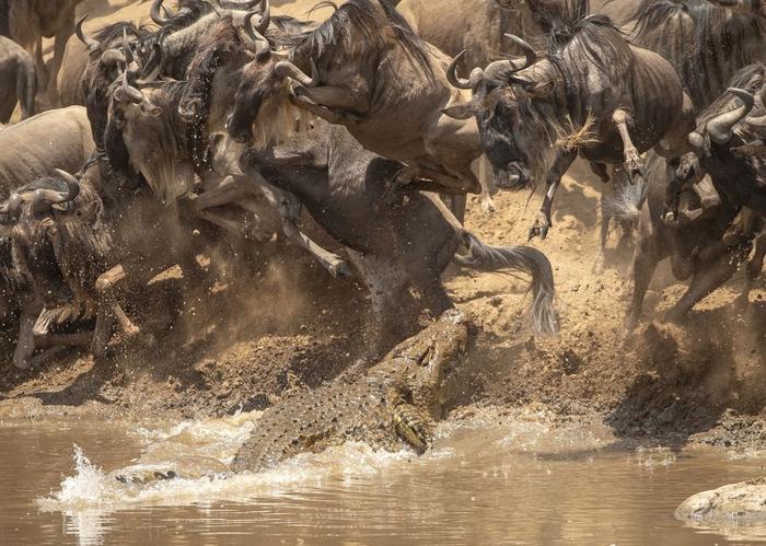 Khoảnh khắc cá sấu lao khỏi mặt nước uy hiếp đàn linh dương đầu bò.