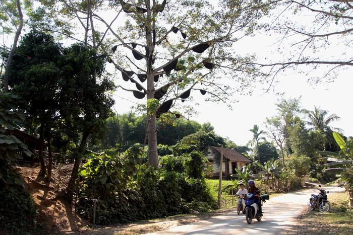 Cây gạo này được trồng từ năm 1979, thân cao đến 40 m. Cách đây 4 năm, có 3 đàn ong bay về làm tổ, gia đình không đốt lấy mật mà để tự nhiên.