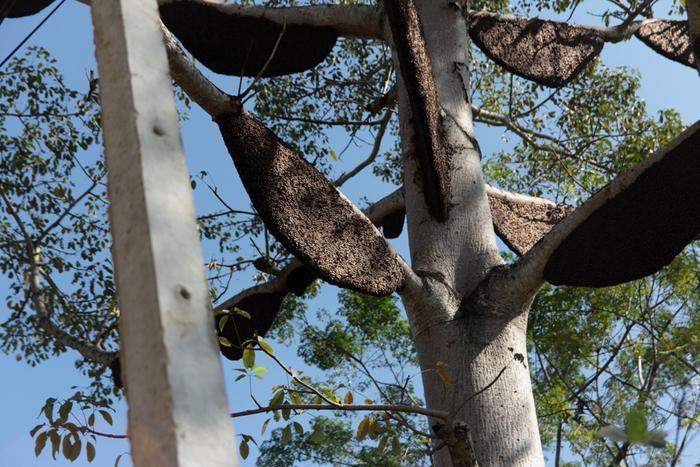 Đến nay đã có gần 60 tổ ong trên cây. Tổ lớn nhất có chiều dài tới 1,5 m, rộng gần 1 m; tổ nhỏ nhất dài gần 0,5 m, rộng 0,3 m.