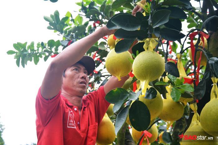 Bên cạnh tưới nước, bón phân, công nhân còn phải bao bọc bưởi để tránh rụng và côn trùng.