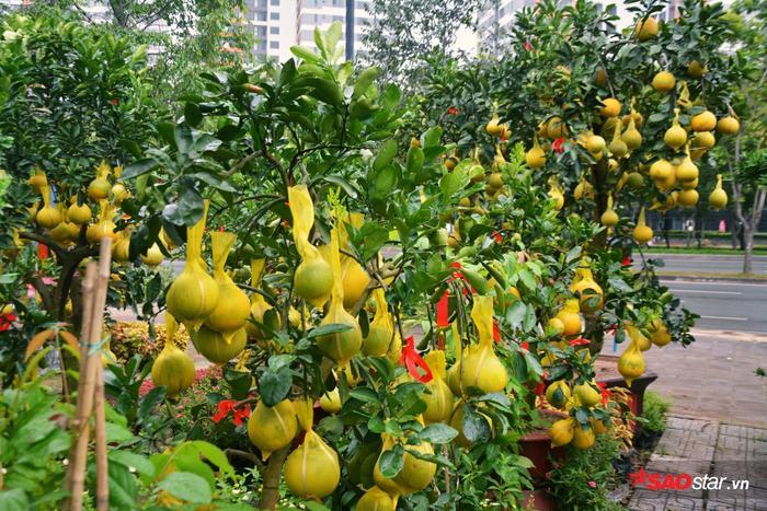 Hiện nhà vườn anh Tú đã có hơn 30 cây và hầu hết đều đã được mua và đặt trước.