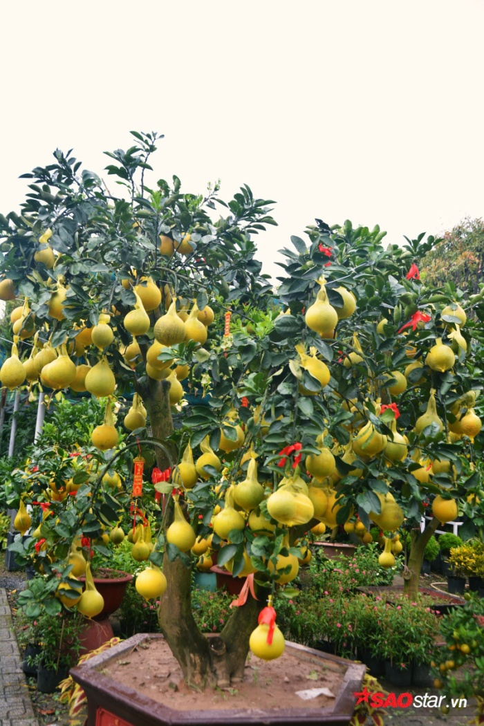 Bưởi Diễn phải được trồng 5-10 năm mới bắt đầu ghép trái và bán.