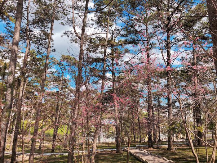 Trường sở hữu công viên rộng, nở bạt ngàn hoa mai anh đào.