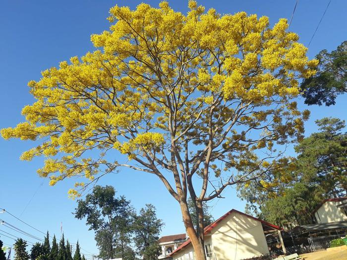 Cây hoa phượng vàng khiến khung cảnh trở nên thơ mộng đầy sức sống. Ảnh: Nguyễn Ngọc Kiều Trinh