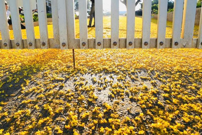 Hình ảnh hoa phượng vàng rực rỡ. Ảnh: Nguyễn Ngọc Kiều Trinh