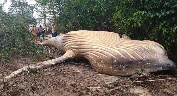 Xác con cá voi lưng gù được tìm thấy trong rừng Amazon.