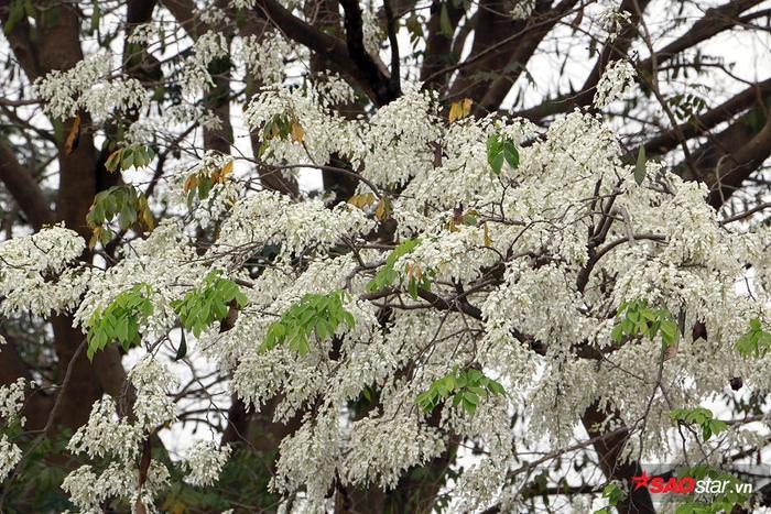 Mùa hoa sưa trở thành 'đặc sản' của Hà Nội những ngày mùa cuối xuân.