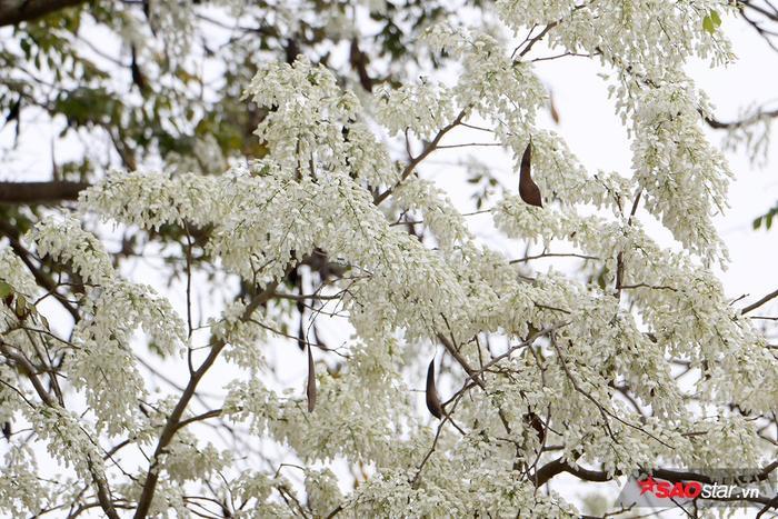 Hoa sữa hay còn gọi là mò cua, là một loài thực vật nhiệt đới thường xanh thuộc chi Hoa sữa.