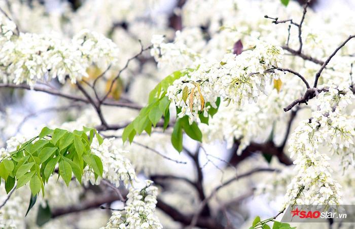 Rất ít người biết loại hoa thanh tao, nhã nhặn này lại có tên khác là mò cua.
