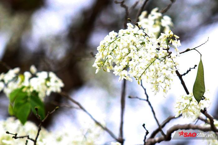 Những ngày này, bạn chỉ cần đi dạo một vòng là có thể khám phá ra rất nhiều địa điểm hoa sưa nở trắng xóa.