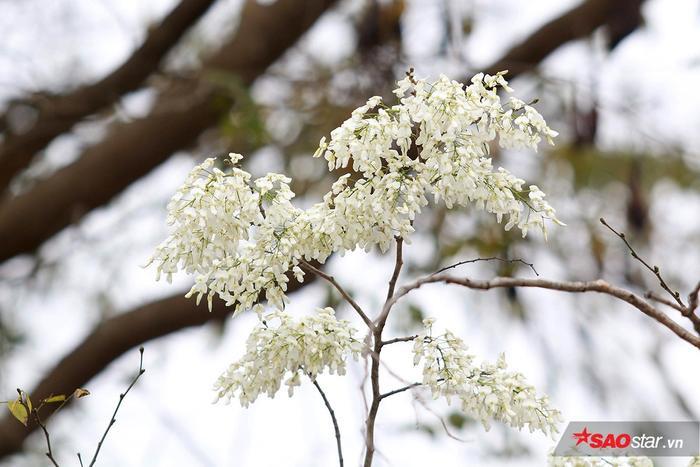 Những cành hoa sưa trắng muốt như tuyết.