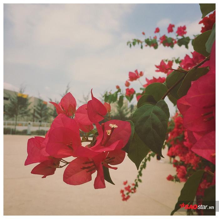 Những cánh hoa giấy rực rỡ màu sắc dưới cái nắng Sài Gòn.