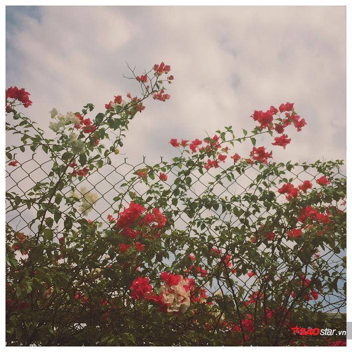 Loài cây này vốn dễ trồng, dễ chăm sóc lại cho hoa bắt mắt nên được nhiều nơi ưa chuộng chọn làm cây cảnh.