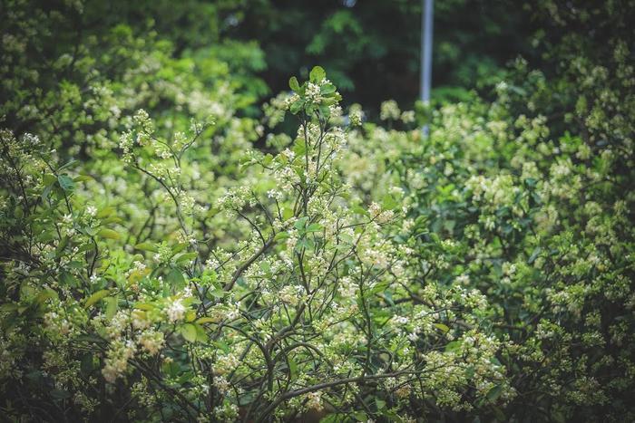 Hoa Bưởi mộc mạc nhưng đầy chất thơ.