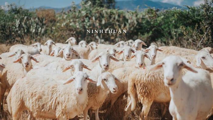Nhắc tới Ninh Thuận là phải nhắc tới Cừu.