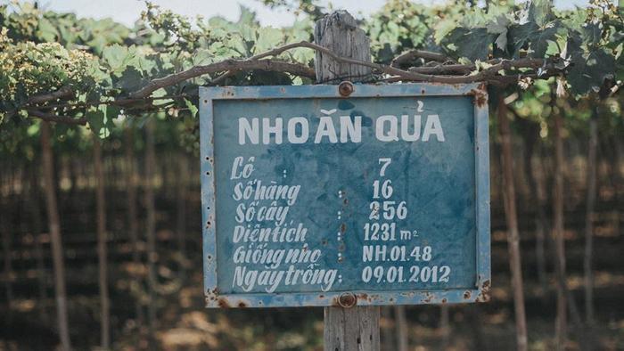 Vườn nho nổi tiếng nhất Ninh Thuận là Ba Mọi. Hoặc bạn có thể dễ dàng ghé vào một vườn nho nào đó ở khu vực Thái An hoặc trên đường đi vịnh Vĩnh Hy.