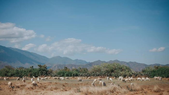 Chỉ có những chú cừu là thảnh thơi dưới tiết trời này
