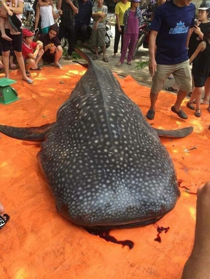 Ông Thắng khẳng định đây chỉ là cá mập bình thường do ngư dân bắt được.