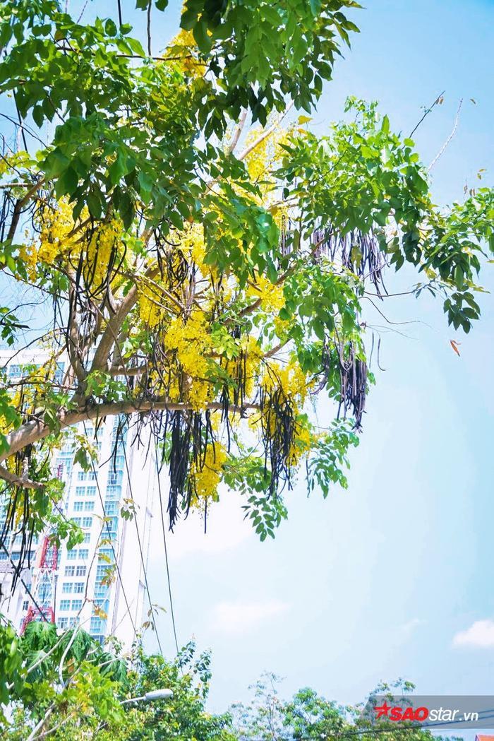 Những tán cây cao vàng rực giữa trời.
