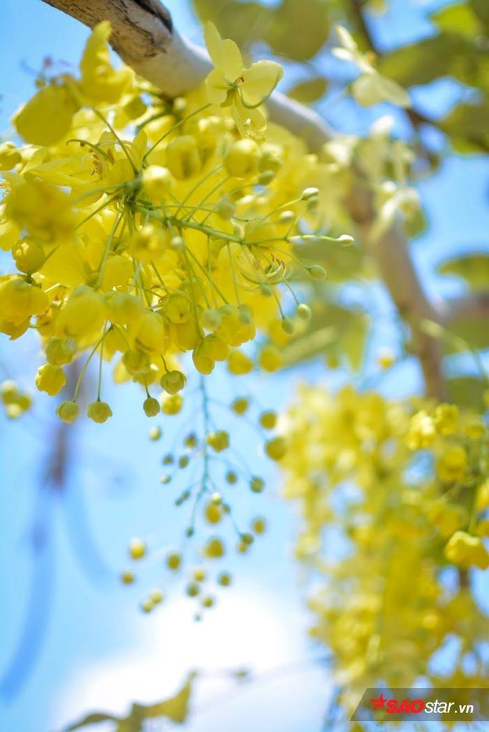 Chùm hoa nở rộ nhất vào những ngày mùa tháng 5.