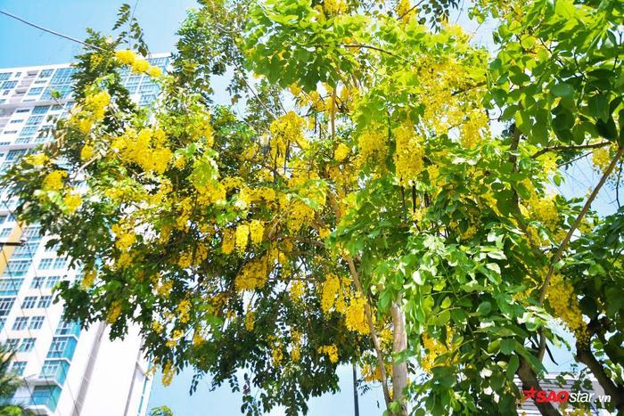 Người ta ví cái màu vàng óng ánh ấy là thắp sáng để gọi mưa về Sài Gòn vì nó trùng vào mùa những cơn mưa.