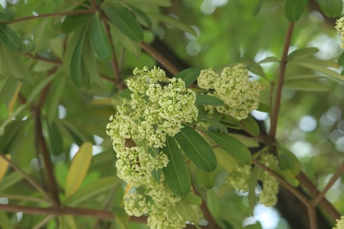 Chị Thu cũng cho rằng, có thể cách đây ít ngày Hà Nội bất ngờ chuyển lạnh nên những cây hoa sữa ngỡ mùa thu về nên vội vã nở hoa.