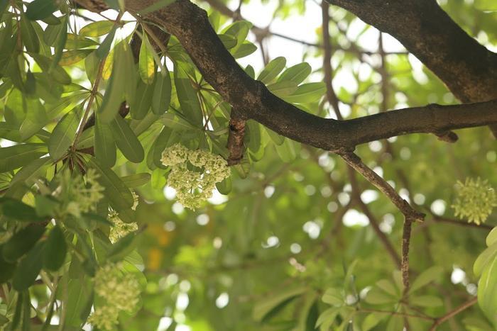 Hình ảnh những cây hoa sữa trổ bông giữa thời tiết oi nóng.