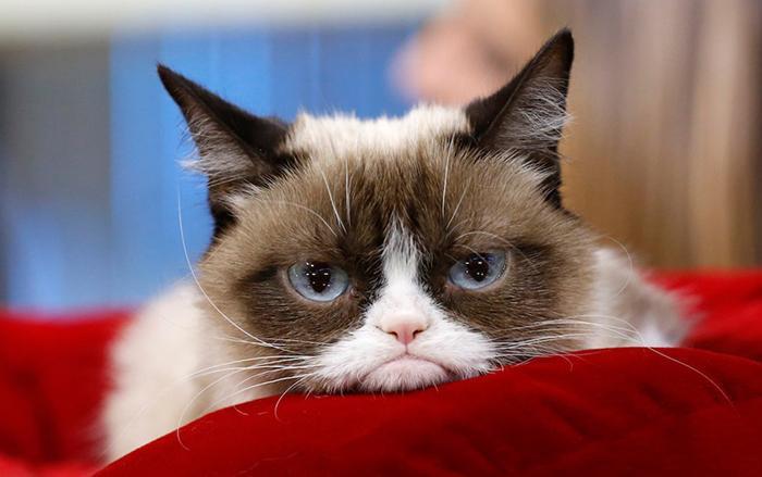 Chân dung Grumpy Cat.