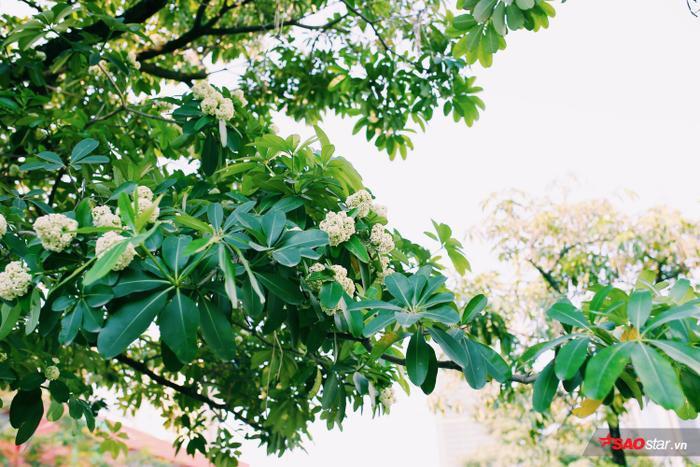 """Anh Đặng Hùng (36 tuổi, ngụ đường Quang Trung) chi sẻ: """"Hoa sữa nở mùa này cũng khá bất ngờ, tự nhiên đi qua đường thấy mùi thơm mới nhận ra. Tuy không phải mùa hoa chính nhưng vẫn rất đẹp và mát…"""""""