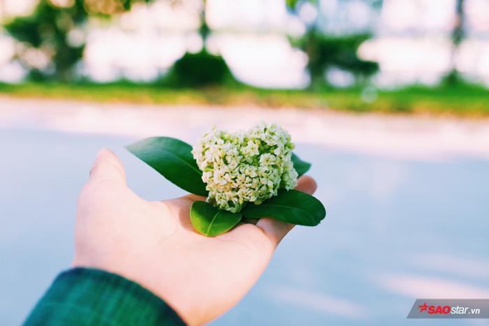 Những khu vực dân cư quanh tuyến đường trồng hoa sữa vẫn không khỏi ngao ngán vì mùi hoa đậm đặc, khó chịu vào tháng 10. Thế nhưng, giờ mọi người lại thư thái ngắm nhìn hoa đơm từng chùm nhỏ lẻ khi hoa sữa nở vào mùa hè như thế này.