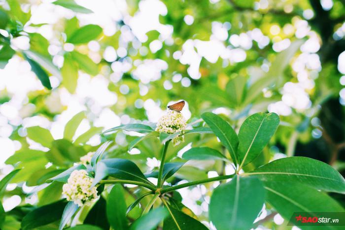 Những tán hoa nhỏ chen trong lá đã thu hút không ít côn trùng tới, nhất là về đêm khi nền nhiệt giảm thấp thì hoa lại nở rộ hơn và hương thơm bay đi rất xa.